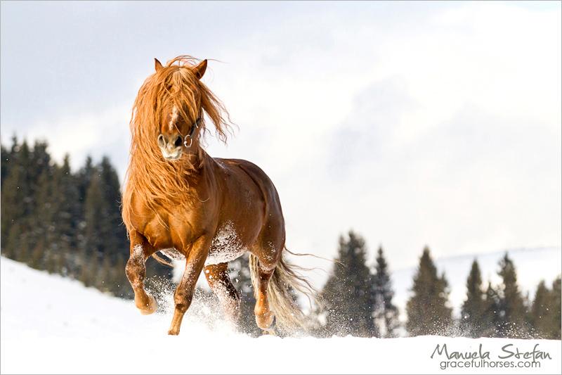 Romanian Hutul stallion