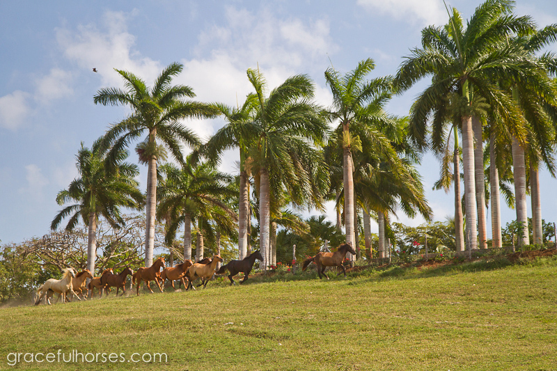 Braco Stables Jamaica horse run