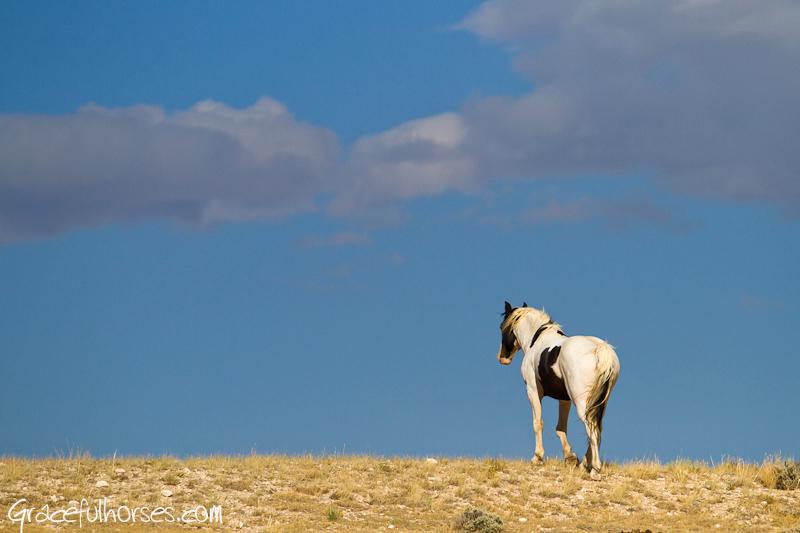 Wild mustang Big Horn Basin