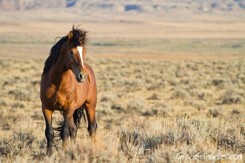 Wild mustang Cody Wyoming
