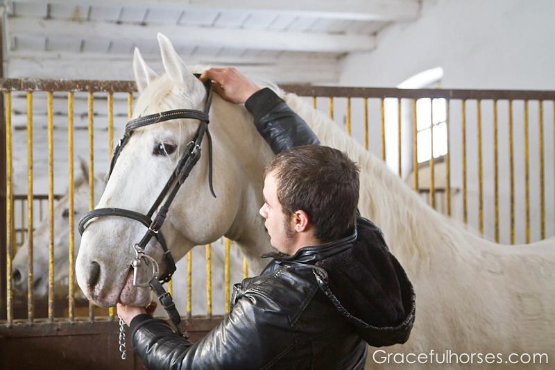 Lipizzaner stallion getting ready