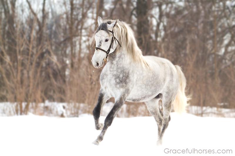 Romanian grey Lipizzan stallion