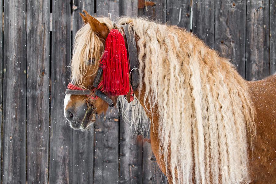 Romanian stallion