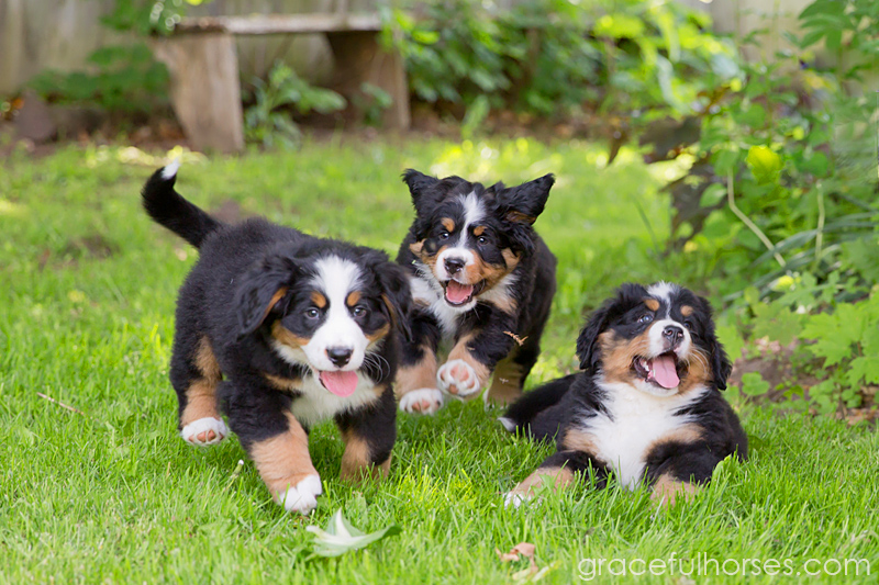 Bernese mountain puppies photography