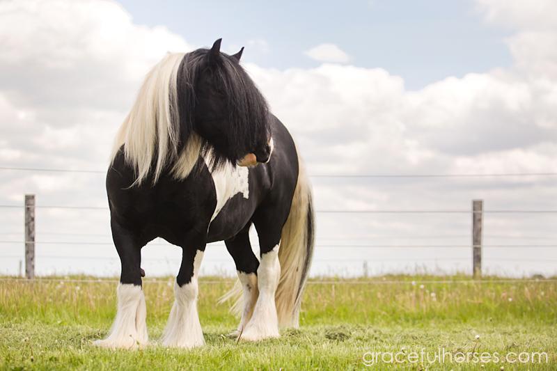 Gypsy Vanner stallion