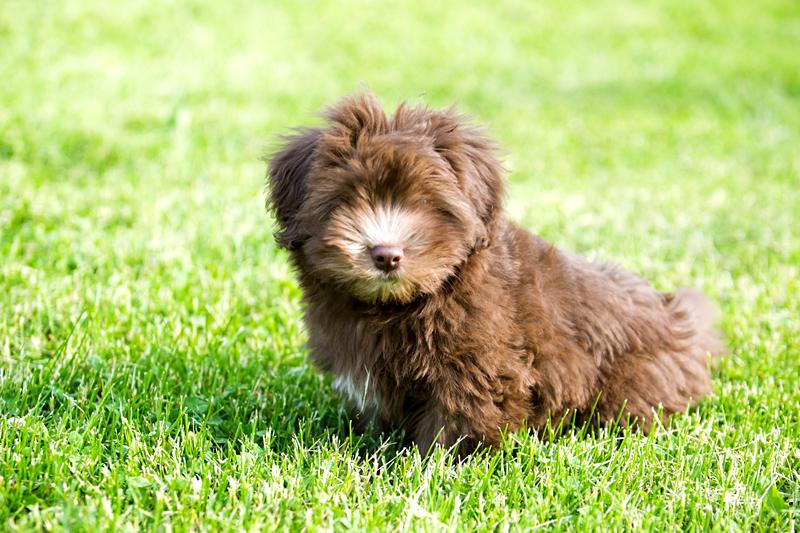 Havanese puppy photographer