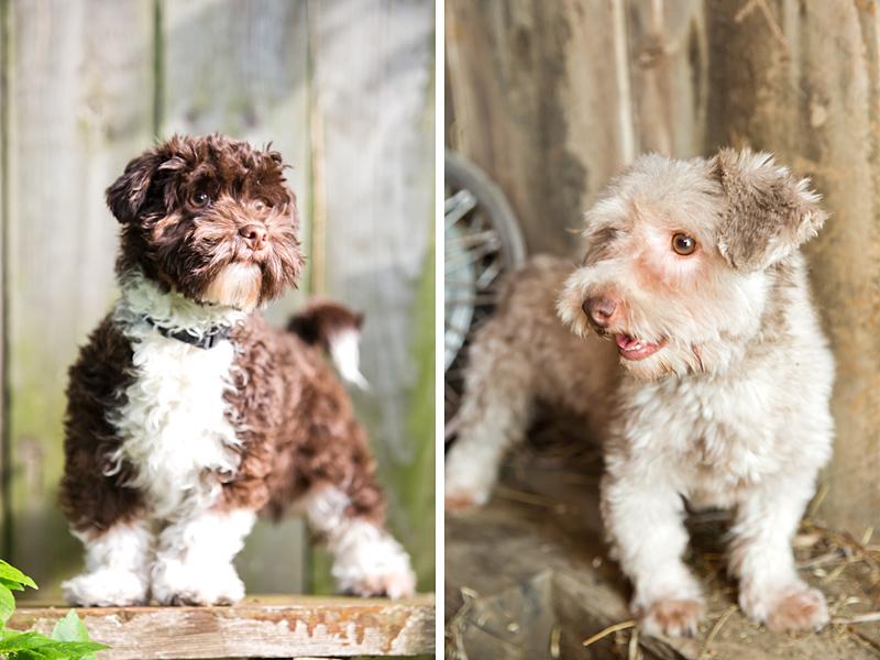 Moore Havanese puppies