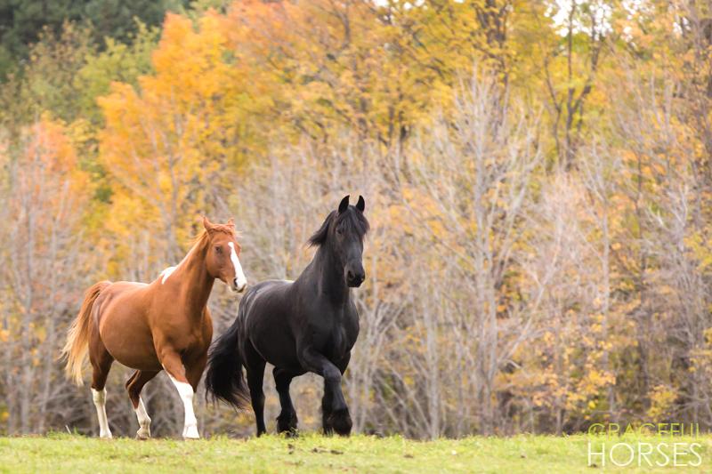 Paint and Friesian horses running
