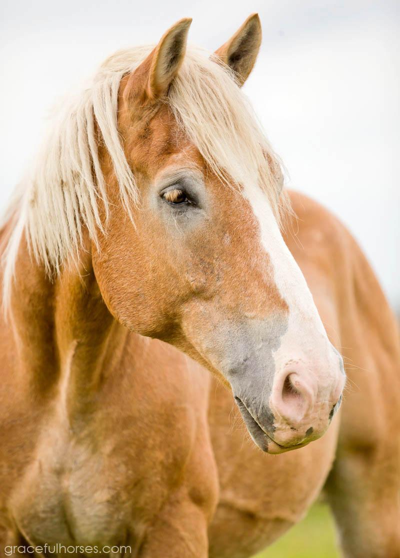 Belgian rescue horse Barney