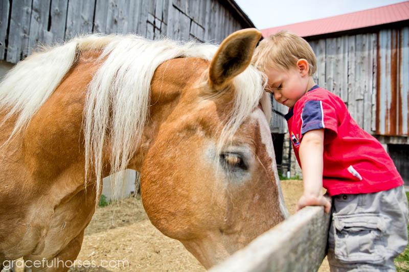 Belgian horse and little boy
