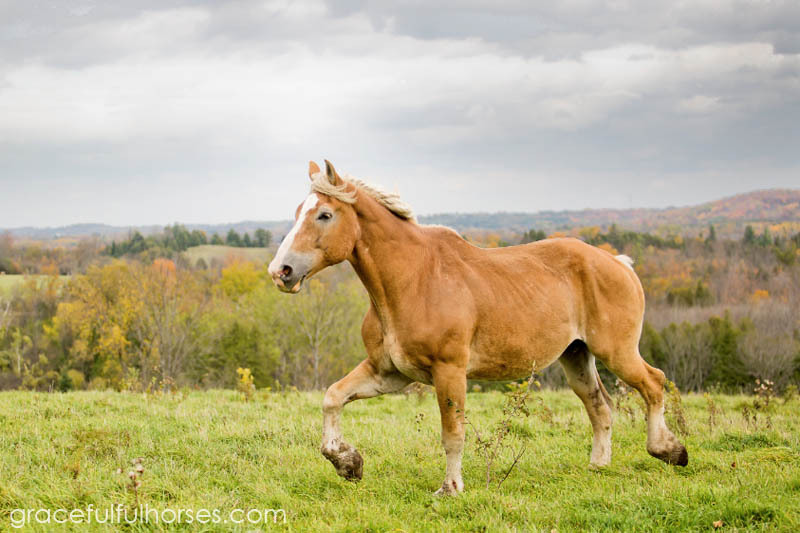 Belgian horse running free