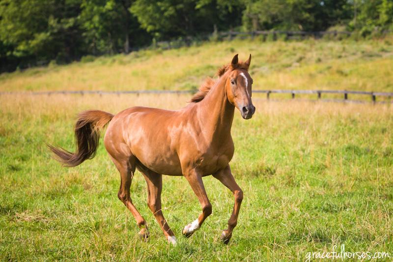 Arabian horse at liberty