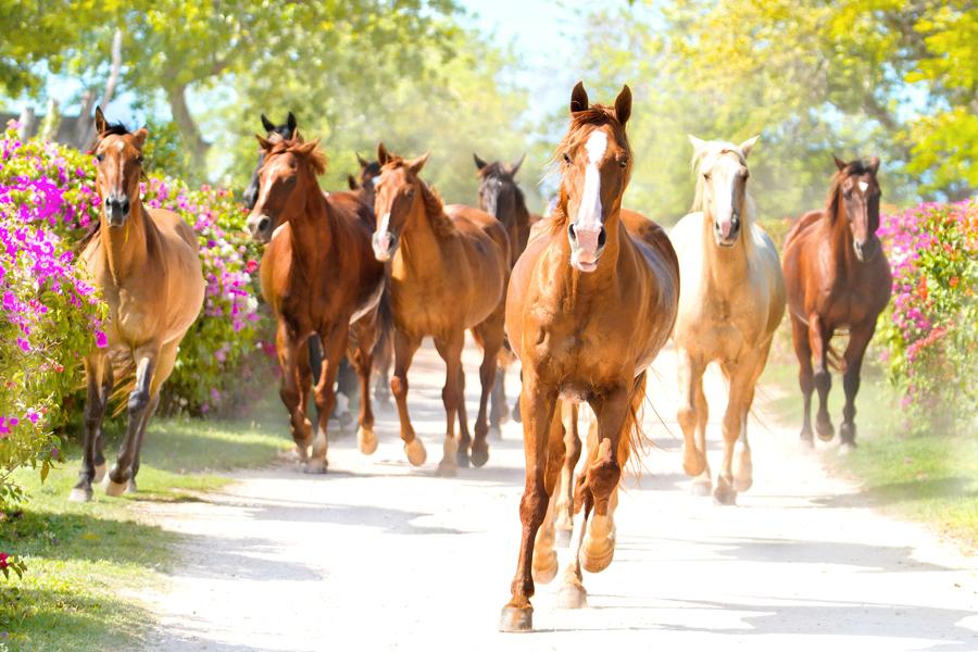 Caribbean horses running