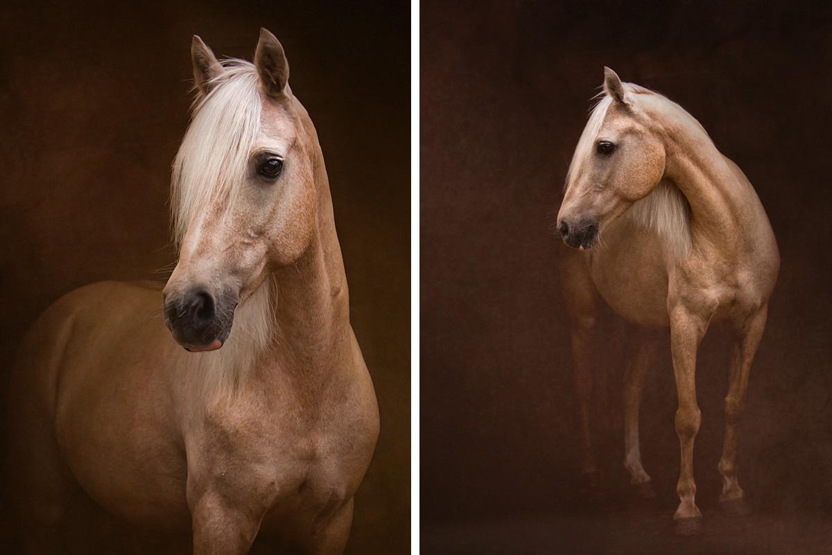 Connemara horse portrait