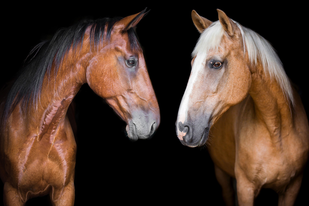 Horse portraits Ontario